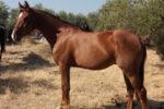 Otomano caballo venta 2