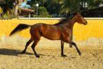 Corvina PJ caballo venta
