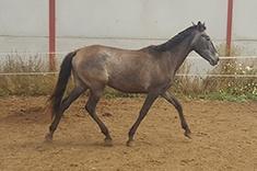 Oasis CZ caballo venta