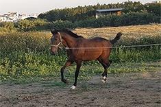 Perseo CZ caballo venta