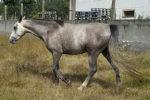Al Gharbe caballo venta CCE