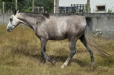 Al Gharbe caballo venta