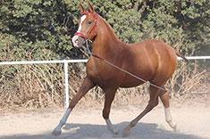 Habana MM caballo venta