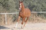 Habana MM caballo venta doma vaquera