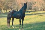 Nayaf caballo venta CCE