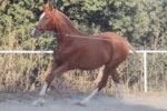 Pandora MM caballo venta salto