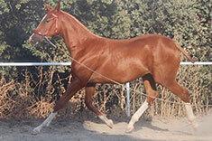 Pandora MM caballo venta
