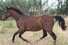 Sa Coeur Pomes caballo venta