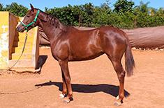Rasha caballo venta