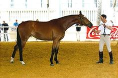 Oliva Agro caballo venta